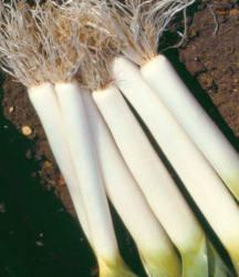 Pěstování pórku