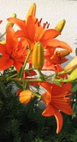 Pěstování lilií na zahradě