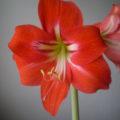 Květ hvězdníku