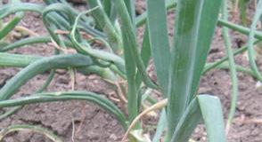 Rané výsevy zeleniny