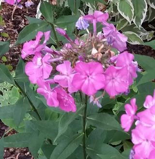 Floxy kvetou v létě