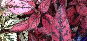 Hypoestes fyllostachia – barevná ozdoba bytu