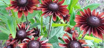 Které trvalky kvetou v létě