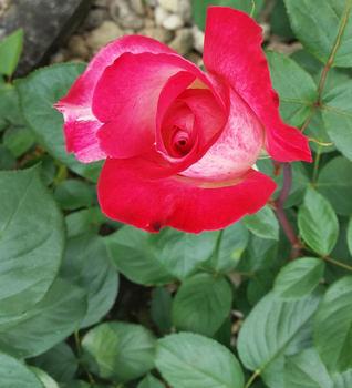 Kam zasadit růže