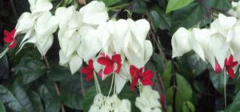 Clerodendrum thomsoniae – pokojová květina