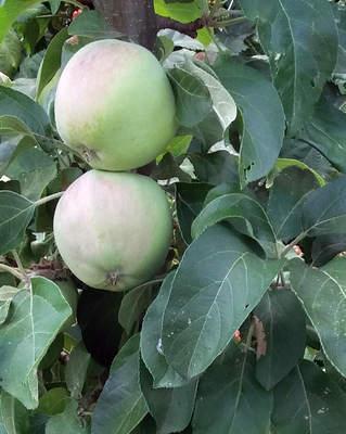 Řez jabloní