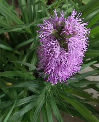 Šuškarda klasnatá (Liatris spicata)