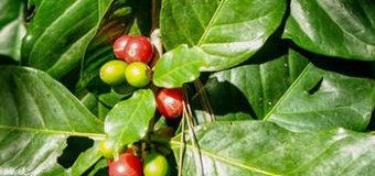 Jak vypěstovat kávovník (Coffea arabica)